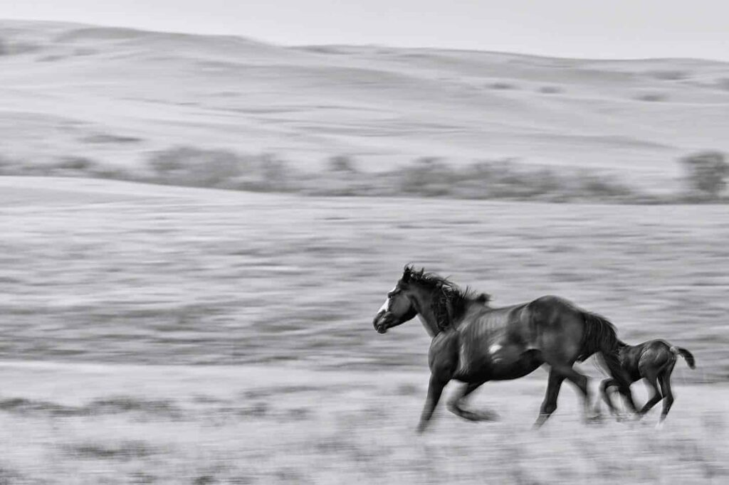 NOKOTA HORSE PICTURE