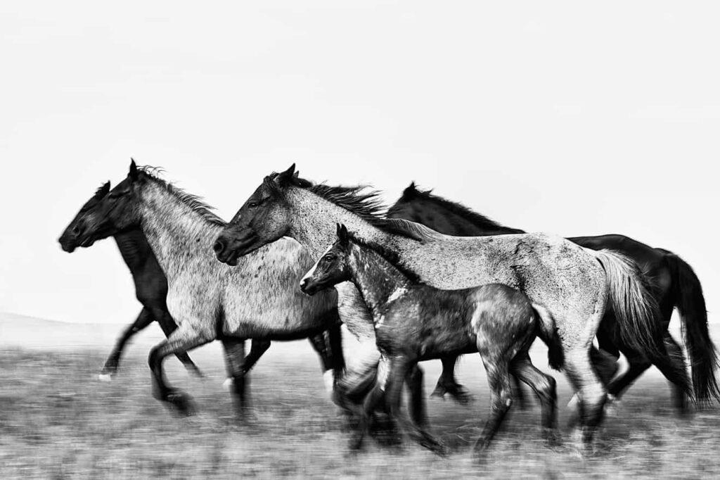 ROAN HORSE BREED
