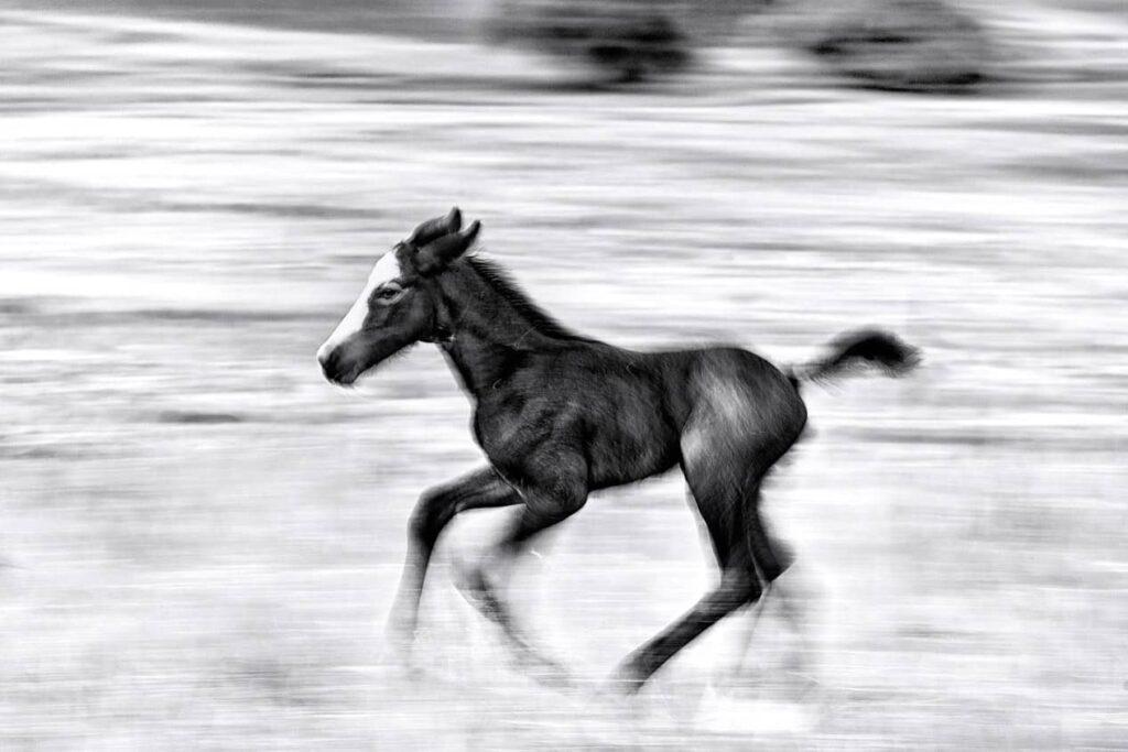 ROAN HORSE FOAL